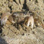 砂浜によくいる小さいカニの捕まえ方について