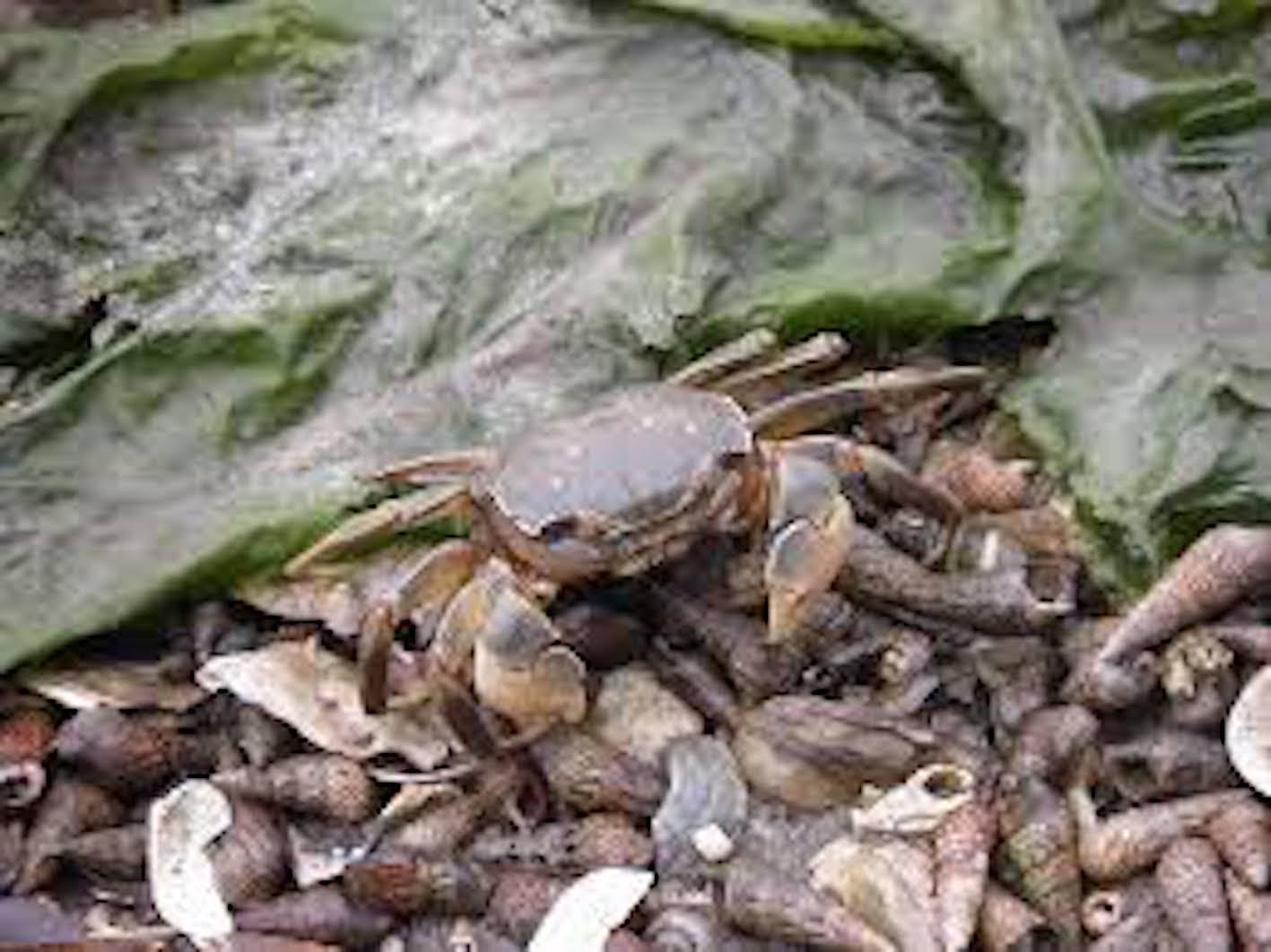アシハラガニ 飼育 餌