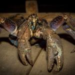 甲殻類最強!?ヤシガニの握力がすごかった!