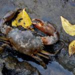 イソガニの飼育。海水の用意方法について。