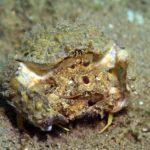 海水カニ「カラッパ」の飼育方法について