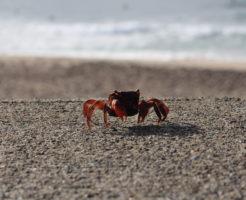 砂浜 カニ 育て方