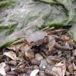 アシハラガニの飼育方法やオススメの餌は何!?