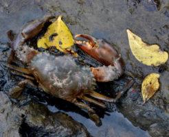 イソガニ 飼育 海水